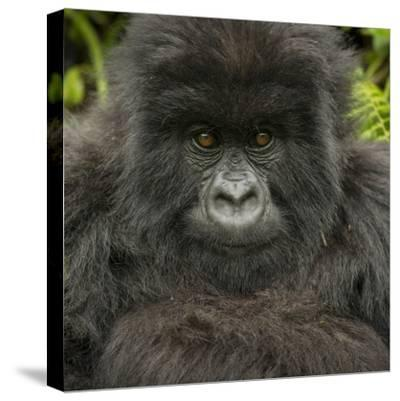 Portrait of a Mountain Gorilla from the Umubano Group-Michael Melford-Stretched Canvas Print