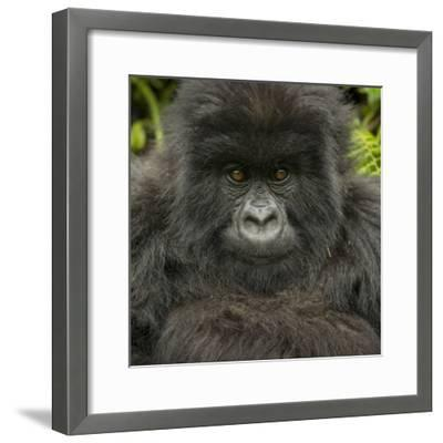 Portrait of a Mountain Gorilla from the Umubano Group-Michael Melford-Framed Photographic Print