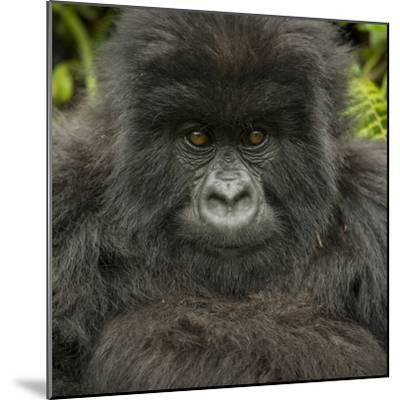 Portrait of a Mountain Gorilla from the Umubano Group-Michael Melford-Mounted Photographic Print