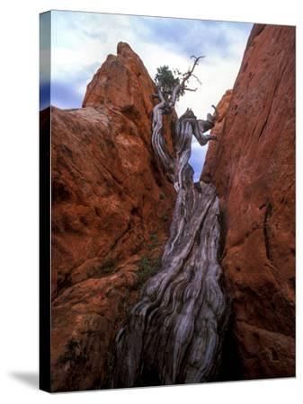 Juniper in a Rock Crevasse, Garden of the Gods, Colorado-Keith Ladzinski-Stretched Canvas Print