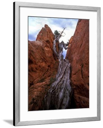 Juniper in a Rock Crevasse, Garden of the Gods, Colorado-Keith Ladzinski-Framed Photographic Print