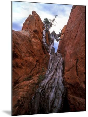 Juniper in a Rock Crevasse, Garden of the Gods, Colorado-Keith Ladzinski-Mounted Photographic Print