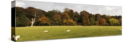 Sheep Grazing in Meadow, Northumberland, England-Design Pics Inc-Stretched Canvas Print