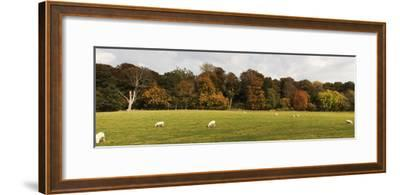 Sheep Grazing in Meadow, Northumberland, England-Design Pics Inc-Framed Photographic Print