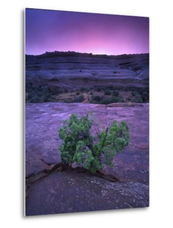 A Lone Juniper Grows Out of Sandstone in the Foreground of a Colorful Sunset-Keith Ladzinski-Metal Print