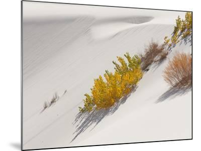 Cottonwood Trees with Fall Color and Salt Cedar in White Sands National Monument-Derek Von Briesen-Mounted Photographic Print