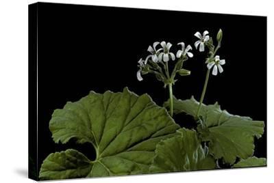 Pelargonium Odoratissimum (Apple Geranium)-Paul Starosta-Stretched Canvas Print