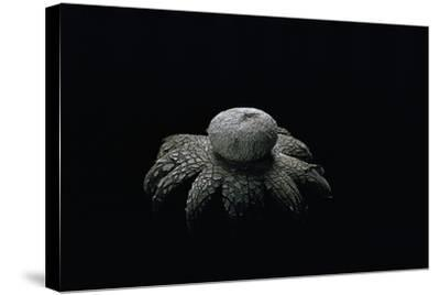 Astraeus Hygrometricus (Barometer Earthstar)-Paul Starosta-Stretched Canvas Print
