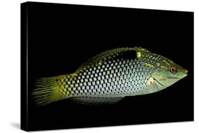 Halichoeres Hortulanus (Checkerboard Wrasse, Four-Spot Wrasse)-Paul Starosta-Stretched Canvas Print