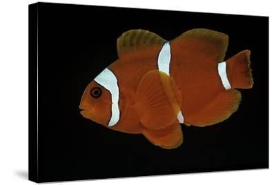 Premnas Biaculeatus (Maroon Clownfish, Spine-Cheeked Clownfish)-Paul Starosta-Stretched Canvas Print