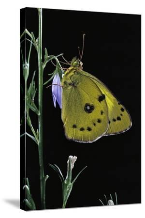 Colias Australis (Berger's Clouded Yellow Butterfly)-Paul Starosta-Stretched Canvas Print