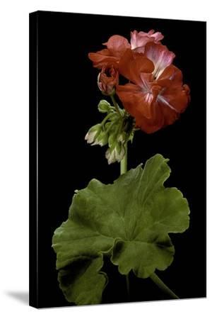 Pelargonium X Hortorum 'Corinne' (Common Geranium, Garden Geranium, Zonal Geranium)-Paul Starosta-Stretched Canvas Print