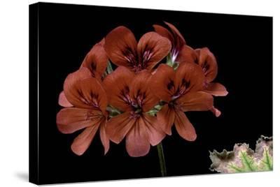 Pelargonium X Unique 'Aurore Unique' (Unique Geranium)-Paul Starosta-Stretched Canvas Print