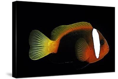 Amphiprion Melanopus (Fire Clownfish, Black Anemonefish, Red and Black Anemonefish, Cinnamon Clownf-Paul Starosta-Stretched Canvas Print