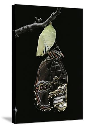 Morpho Peleides (Blue Morpho) - Emerging from Pupa-Paul Starosta-Stretched Canvas Print