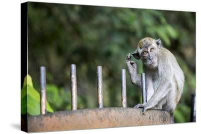 Long-Tailed Macaque at Batu Caves, Kuala Lumpur, Malaysia-Paul Souders-Stretched Canvas Print