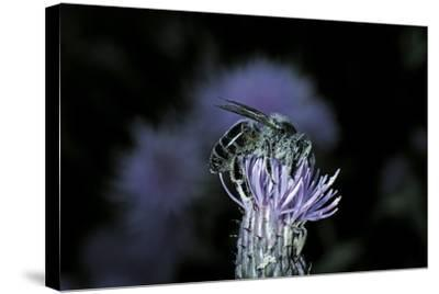 Apis Mellifera (Honey Bee) - Foraging on a Thistle Flower-Paul Starosta-Stretched Canvas Print