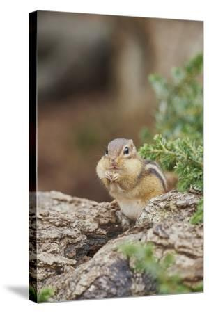 Eastern Chipmunk-Gary Carter-Stretched Canvas Print