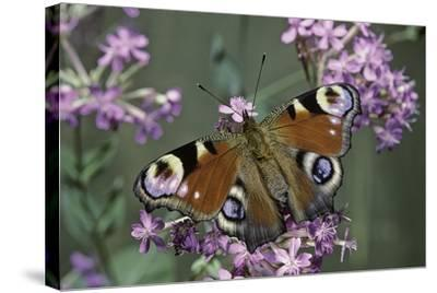 Inachis Io (Peacock Butterfly, European Peacock)-Paul Starosta-Stretched Canvas Print
