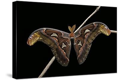 Attacus Atlas (Atlas Moth) - Male-Paul Starosta-Stretched Canvas Print