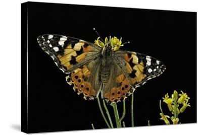 Vanessa Cardui (Painted Lady Butterfly)-Paul Starosta-Stretched Canvas Print