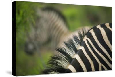 Zebra in Pilanesberg National Park-Jon Hicks-Stretched Canvas Print