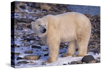 Polar Bear Standing on Rocks-DLILLC-Stretched Canvas Print
