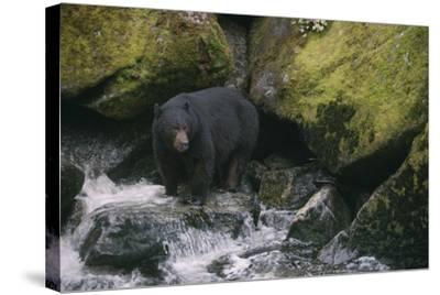 Black Bear in Stream-DLILLC-Stretched Canvas Print
