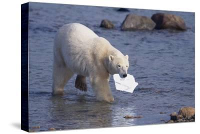 Polar Bear Carrying Styrofoam in Mouth-DLILLC-Stretched Canvas Print