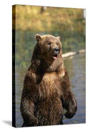 Grizzly Standing in Stream-DLILLC-Stretched Canvas Print