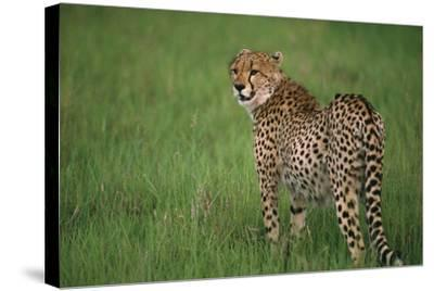 Cheetah Standing in Grass-DLILLC-Stretched Canvas Print