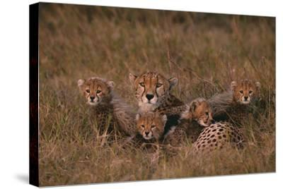 Cheetah with Cubs in Grass-DLILLC-Stretched Canvas Print