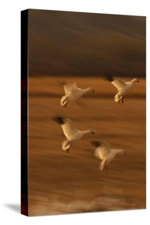 Snow Geese Landing-DLILLC-Stretched Canvas Print