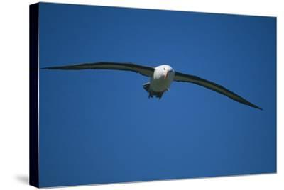 Black-Browed Albatross Flying-DLILLC-Stretched Canvas Print