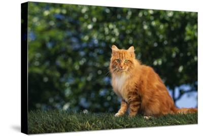 Yellow Cat on Grass-DLILLC-Stretched Canvas Print