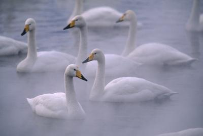 Whooper Swans Floating on Water-DLILLC-Premium Photographic Print