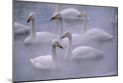 Whooper Swans Floating on Water-DLILLC-Mounted Premium Photographic Print