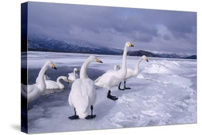 Whooper Swans on Frozen Lake-DLILLC-Stretched Canvas Print