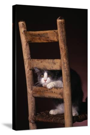 Gray and White Cat Looking through Wood Chair-DLILLC-Stretched Canvas Print