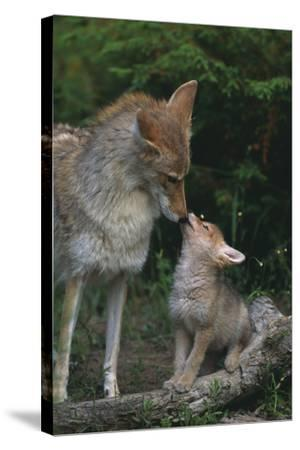 Coyote Mother and Pup-DLILLC-Stretched Canvas Print