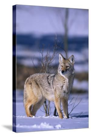 Coyote Walking in Snow-DLILLC-Stretched Canvas Print