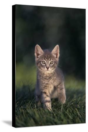 Tabby Kitten in Grass-DLILLC-Stretched Canvas Print
