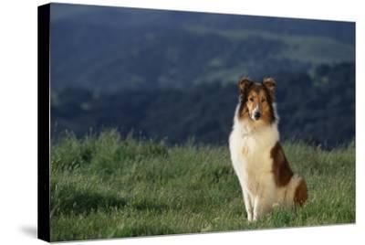 Collie Sitting in Field-DLILLC-Stretched Canvas Print