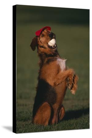 Airedale Terrier with Baseball in Mouth-DLILLC-Stretched Canvas Print