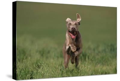 Excited Weimaraner Running in Field-DLILLC-Stretched Canvas Print
