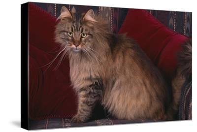 Maine Coon Cat on Chair-DLILLC-Stretched Canvas Print