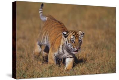 Bengal Tiger Cub Walking in Grass-DLILLC-Stretched Canvas Print