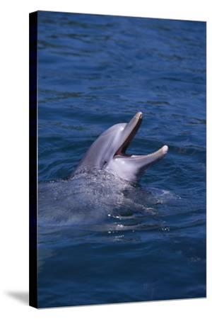Bottlenosed Dolphin with Mouth Open-DLILLC-Stretched Canvas Print