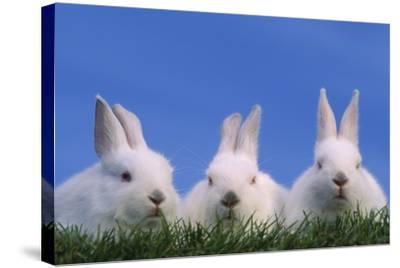 Domestic Rabbits in Grass-DLILLC-Stretched Canvas Print