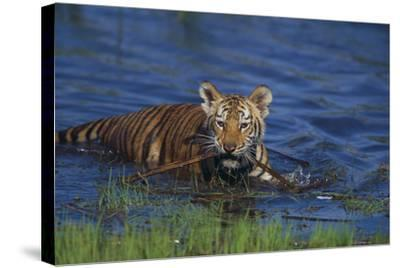 Bengal Tiger Cub in Water-DLILLC-Stretched Canvas Print